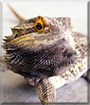 Eddie the Bearded Dragon