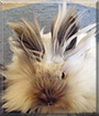 Eevee the Lionhead Rabbit