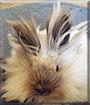 Eevee the Lionhead Rabbit
