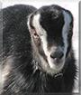 Davian the LaMancha goat