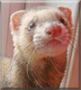Copper the Ferret