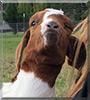 Sebastian the Boer Goat