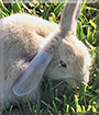 Caramel Macchiato the Lop/Rex mix Rabbit