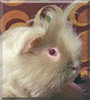 Sugar Bear the Texel Guinea Pig
