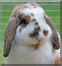 Han Solo the Holland Lop Rabbit