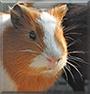 Jigglypuff the Guinea Pig