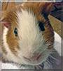 Darwin the Guinea Pig