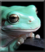 Syvi the White's Tree Frog