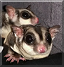 Mingan and Marscal the Sugar Gliders