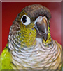 Ki the Green Cheek Conure