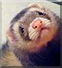Milo the Siamese Ferret