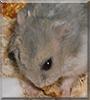 Minnie the Dwarf Hamster