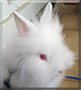 Biscotte the Lionhead mix Rabbit