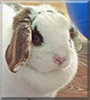 Lola the Mini Holland Lop Rabbit