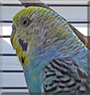 Bubble the Budgerigar