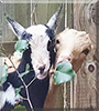 Hazel and Fiver the Miniature Lamancha Goats