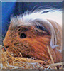 Strubbel the Guinea Pig