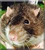 Rolland the Velveteen Fancy Rat