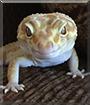 Gordon the Leopard Gecko