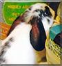 Buttons the Dwarf Lop Rabbit