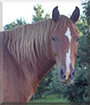 Tory the Tennessee Walking Horse