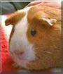 Apricot the American Guinea Pig
