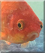 Poppy the Goldfish