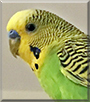 Puffy the Parakeet