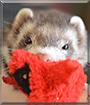 Damon the Ferret