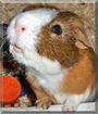 Mr. Belvedere the Short-Hair Guinea Pig