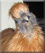 Phoenix the Chinese Bantam Silkie Chicken