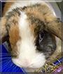 Oliver the Harlequin Lop Rabbit