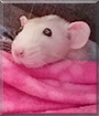 Elsa the Dumbo Rat