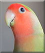 Nash the Peach-Faced Lovebird