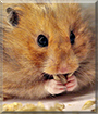 Volatile the Syrian Hamster