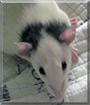 Ganymede the Fancy Rat