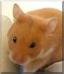 Honey the Syrian Hamster
