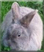 Harella the Lionhead rabbit mix