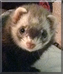 Penelope the Ferret