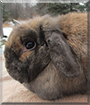 Niomi the Holland Lop Rabbit