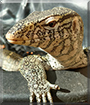 Garrus the Nile Monitor Lizard