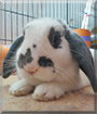 Jack the Holland Lop Rabbit