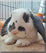 Jack the Holland Lop Rabbit
