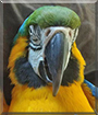 Sugar the Blue and Gold Macaw