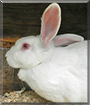 Flurry the New Zealand White Rabbit