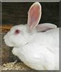 Flurry the New Zealand White Rabbit