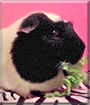 Dank the Guinea Pig