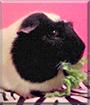 Dank the Guinea Pig