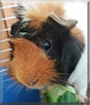 Pepper the Guinea Pig