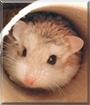 Romeo the Dwarf Hamster